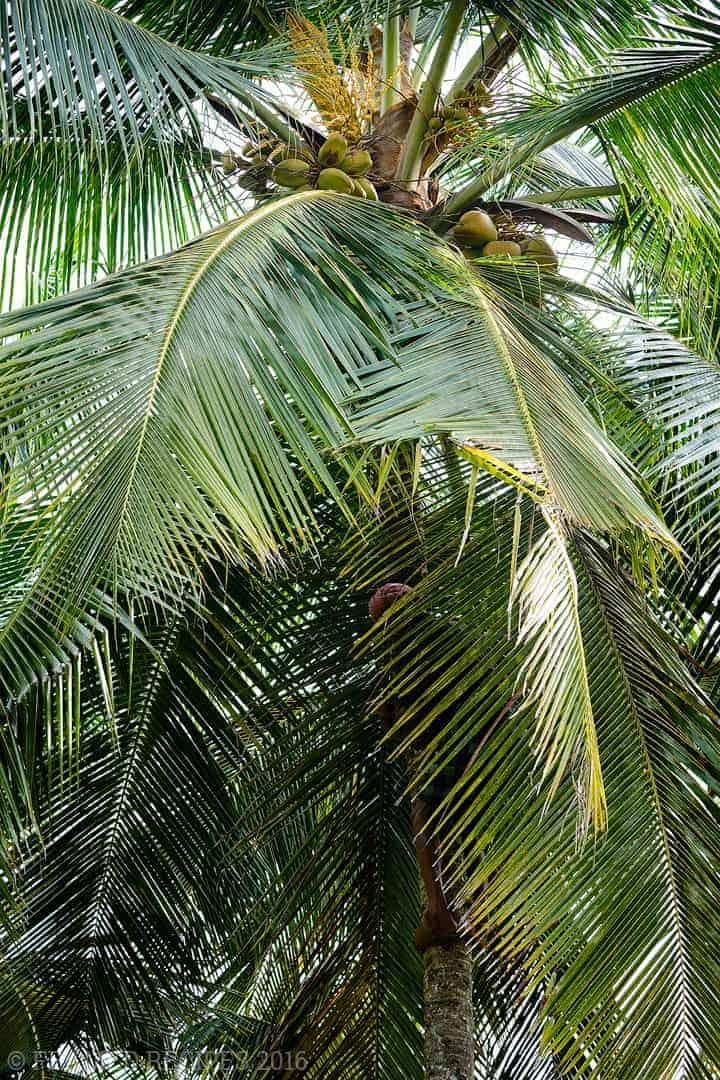 Coconut_101_DSC2685